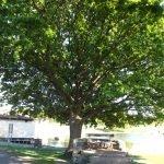 <!--:en-->19. D. P. Evans Tree<!--:--><!--:cy-->19. Coeden D.P. Evans<!--:-->