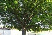 19. D. P. Evans Tree